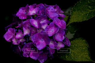 紫あじさいの写真・画像素材[2188235]