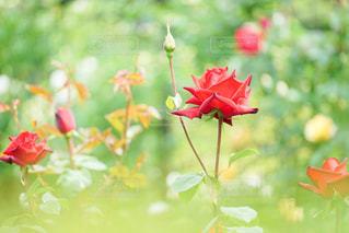 赤いバラの写真・画像素材[2188257]