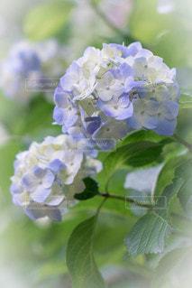 紫陽花の写真・画像素材[2323104]