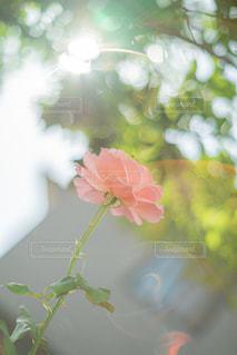 逆光のバラの写真・画像素材[2697130]