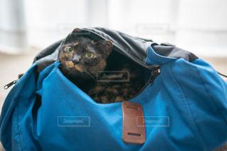 青いかばんをかぶっている猫の写真・画像素材[2888411]