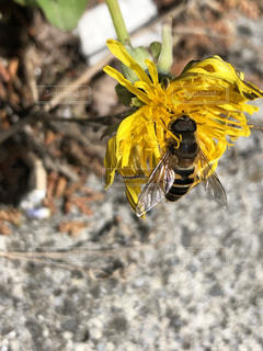 タンポポとミツバチの写真・画像素材[2142493]