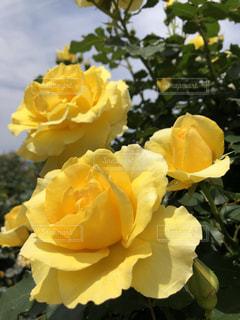 薔薇三姉妹の写真・画像素材[2159790]