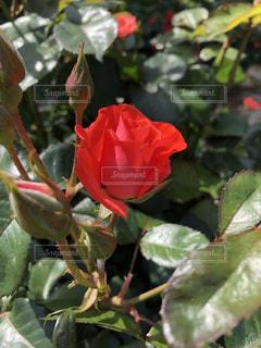 赤い薔薇の写真・画像素材[2223203]