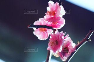 桜の写真・画像素材[2127559]