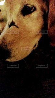 犬の接写の写真・画像素材[2125439]