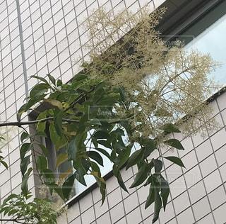 6月のオリーブの木の写真・画像素材[2422456]