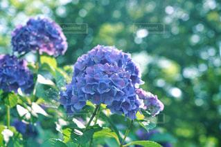 木漏れ日の紫陽花の写真・画像素材[2164749]