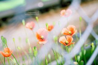 フェンス越しの花の写真・画像素材[2175647]