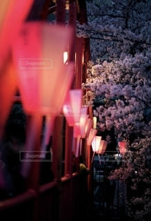 桜色の光が灯るの写真・画像素材[2760297]