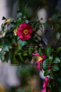 向き合う山茶花たちの写真・画像素材[2763762]
