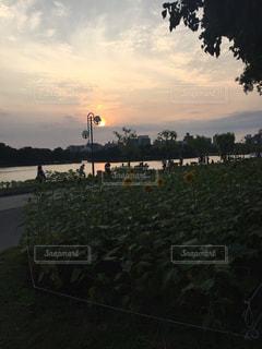 ひまわりと夕焼けの写真・画像素材[2126299]