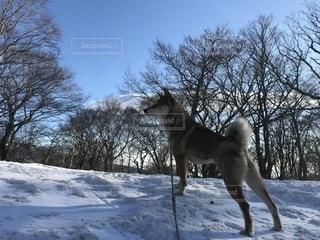 雪の中に立っている犬の写真・画像素材[2126793]