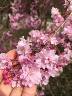 桜の写真・画像素材[2136542]