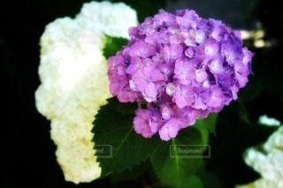 紫色のアジサイの写真・画像素材[2219249]