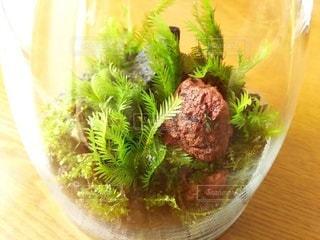 苔のテラリウム(ホウオウゴケ)の写真・画像素材[2367581]