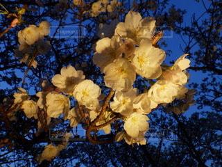 御室桜の写真・画像素材[2128148]