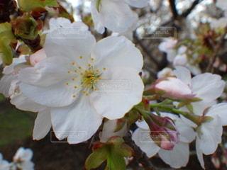 桜クローズアップの写真・画像素材[2128140]