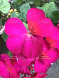 ピンクの花の写真・画像素材[2164474]