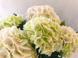 紫陽花「コットンキャンディ」の写真・画像素材[2128896]