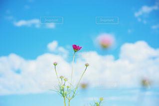 青空と秋桜の写真・画像素材[2172665]