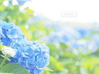 青の紫陽花の写真・画像素材[2211112]