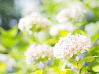 白の紫陽花の写真・画像素材[2211114]