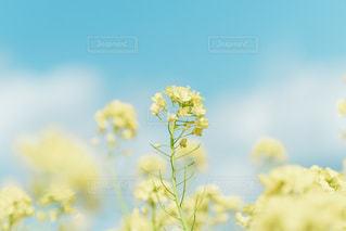 菜の花にょきにょきの写真・画像素材[3044785]