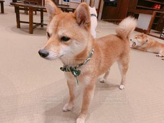 凛々しい柴犬の写真・画像素材[2127723]