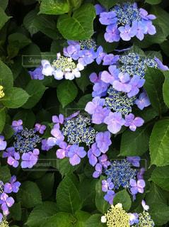 青紫の紫陽花の写真・画像素材[2141703]