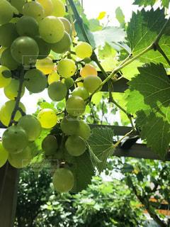 果樹のクローズアップの写真・画像素材[2344084]