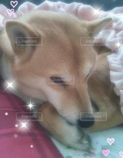 ソファーで眠そうな可愛い柴犬の写真・画像素材[2128485]