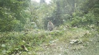 緑豊かな森の上に立っている猿の写真・画像素材[2129098]