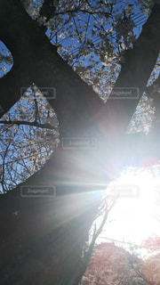 桜の間からの太陽の写真・画像素材[2134536]