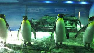 ペンギンの整列の写真・画像素材[2138954]
