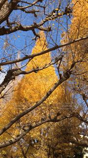 明治神宮外苑いちょう並木の写真・画像素材[2131219]