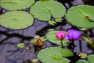 池の接写の写真・画像素材[2130533]