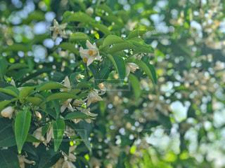 柚子の花の写真・画像素材[2136721]