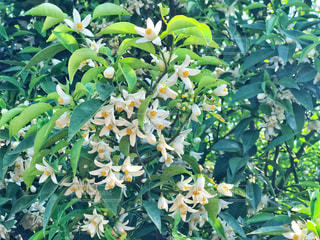 ゆずの花のクローズアップの写真・画像素材[2138212]