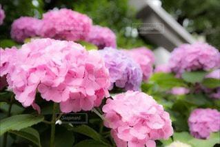 お花畑の写真・画像素材[107819]