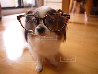 メガネをかけたパピヨンの写真・画像素材[2135112]
