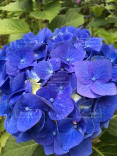梅雨の中の一輪紫陽花の写真・画像素材[2244565]