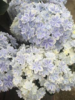 紫陽花の写真・画像素材[2135905]