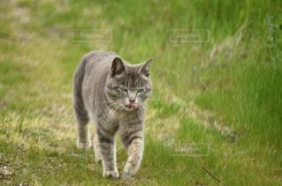 芝生の上を歩く猫の写真・画像素材[2137330]