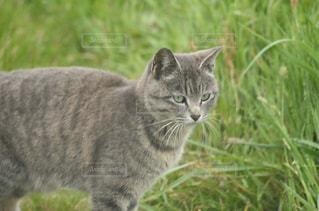 草に覆われた野原の上に立っている灰色の猫の写真・画像素材[2137331]