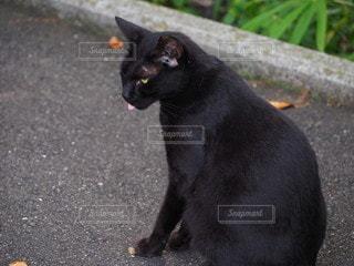 舌をだしてる黒猫の写真・画像素材[2391847]