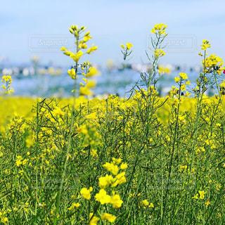 晴れの菜の花の写真・画像素材[2138595]