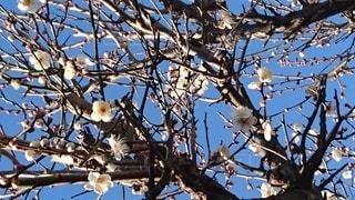 梅の花の写真・画像素材[2142309]