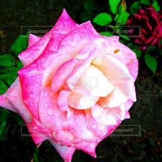 薔薇の写真・画像素材[2151353]