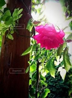 薔薇の写真・画像素材[2165852]